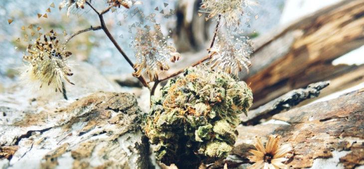 Fibromyalgie traitée avec du cannabis